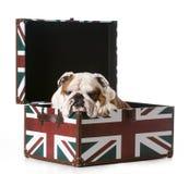 Englische Bulldogge stockbild
