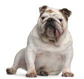 Englische Bulldogge, 5 Jahre alt, sitzend Lizenzfreies Stockfoto