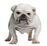 Englische Bulldogge, 5 Jahre alt, Stellung lizenzfreie stockfotos