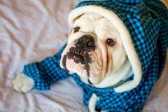 Englische Bulldogge stockfotografie