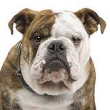 Englische Bulldogge (6 Monate) Stockbild