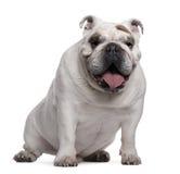 Englische Bulldogge, 7 Jahre alt, sitzend lizenzfreie stockbilder