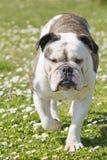 Englische Bulldogge Lizenzfreies Stockbild