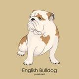 Englische Bulldogge, britische Bulldogge Lizenzfreie Stockfotos