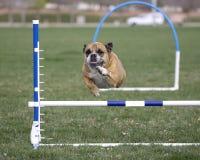 Englische Bulldogge, die über Beweglichkeitssprung hinausgeht Stockfotografie