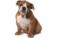Englische Bulldogge, die auf einem weißen Hintergrund sitzt und vorwärts schaut stockfotografie