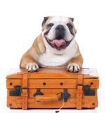 Englische Bulldogge, die auf Reisekoffer sitzt Stockbilder