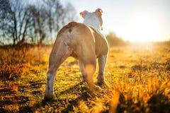Englische Bulldogge, die auf stehendes Herbstfeld geht stockbilder