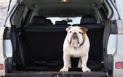 Englische Bulldogge, die in einem Autokofferraum steht Stockfoto