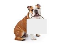 Englische Bulldogge, die leeres Zeichen hält Stockfoto