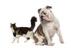 Englische Bulldogge, die zurück einem Katzengehen betrachtet Lizenzfreie Stockbilder