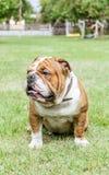 Englische Bulldogge im Hinterhof Lizenzfreies Stockfoto