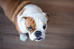 Englische Bulldogge im stilvollen genießenden Hauptleben stockbild