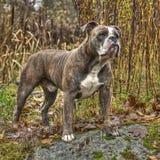 Englische Bulldogge Olde in HDR Stockbild