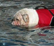 Englische Bulldogge-Schwimmen Lizenzfreies Stockfoto