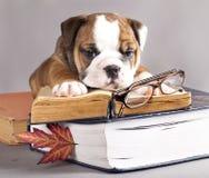 Englische Bulldogge und Buch stockfotos