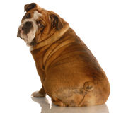 Englische Bulldogge von der Rückseite stockfotos