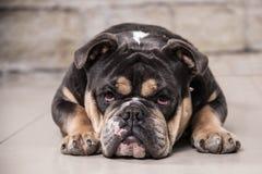 Englische Bulldogge, welche die Kamera betrachtet Lizenzfreie Stockfotos