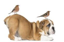 Englische Bulldoggen-Welpenunterseite oben mit dem Buchfinken mit zwei Common auf Haupt- und Endstück Stockbild