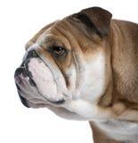 Englische Bulldoggenahaufnahme, 18 Monate alte, Lizenzfreie Stockfotografie