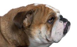 Englische Bulldoggenahaufnahme, 18 Monate alte, Stockbild