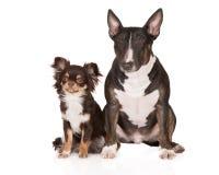 Englische Bullterrier- und Chihuahuahunde Stockfotografie