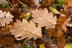 Englische Eichen-Blätter im Herbst Lizenzfreie Stockfotos