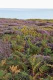 Englische Heide Stockbilder