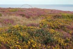 Englische Heide im Sommer Stockbild
