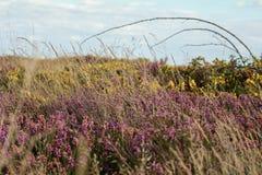 Englische Heide im Sommer Stockfotografie