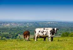 Englische ländliche Landschaft herein mit dem Weiden lassen des Holsteinerviehs Stockfoto