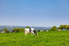 Englische ländliche Landschaft herein mit dem Weiden lassen des Holsteinerviehs Stockfotos