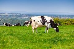 Englische ländliche Landschaft herein mit dem Weiden lassen des Holsteinerviehs Stockbilder