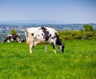 Englische ländliche Landschaft herein mit dem Weiden lassen des Holsteinerviehs Lizenzfreie Stockfotografie