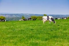 Englische ländliche Landschaft herein mit dem Weiden lassen des Holsteinerviehs Lizenzfreies Stockfoto