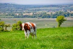 Englische ländliche Landschaft herein mit dem Weiden lassen des Holsteinerviehs Lizenzfreie Stockfotos