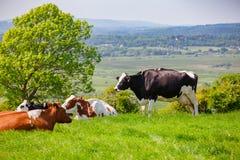 Englische ländliche Landschaft herein mit dem Weiden lassen des Holsteinerviehs Lizenzfreies Stockbild
