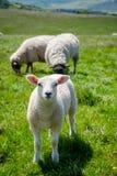 Englische ländliche Landschaft herein mit dem Weiden lassen des Lamms Stockbilder