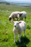 Englische ländliche Landschaft herein mit dem Weiden lassen des Lamms Stockbild