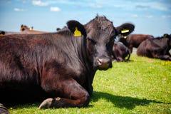 Englische ländliche Landschaft herein mit dem Weiden lassen Rindfleisch Aberdeens Angus von catt Lizenzfreie Stockbilder