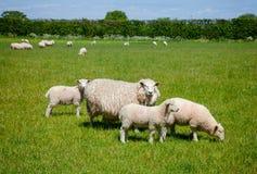 Englische ländliche Landschaft herein mit dem Weiden lassen von Schafen Stockfotografie