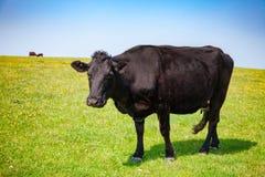 Englische ländliche Landschaft mit dem Weiden lassen von Mastvieh Aberdeens Angus Lizenzfreies Stockfoto