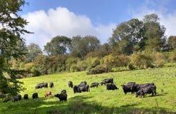 Englische ländliche Szene mit Kühen Stockfoto
