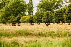 Englische Landschaft mit den braunen weiden lassenden Kühen Lizenzfreie Stockbilder
