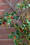 Englische Niederlassung amerikanischer hollies Stechpalme Ilex opaca roter Beeren verlässt Wandsymbol neues Jahr-Weihnachtsbuschg stockbild