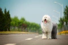 Englischer alter Schäferhund Lizenzfreie Stockfotografie