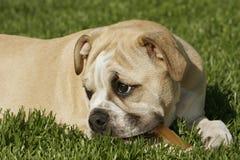 Englischer Bulldogge-Welpe Stockbilder
