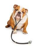 Englischer Bulldoggen-Tierarzt Dog stockbild