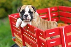 Englischer Bulldoggen-Welpe, der auf rotem Lastwagen steht lizenzfreies stockbild