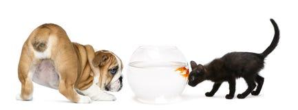 Englischer Bulldoggen-Welpe und schwarzes Kätzchen, die einen Goldfisch betrachtet Lizenzfreie Stockfotografie